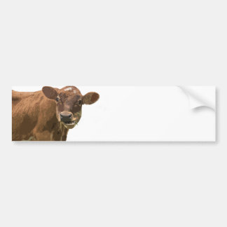 Cow Chewing Bumper Stickers