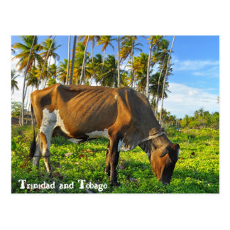 Cow Grazing Amongst Coconut Trees Postcard