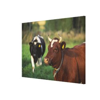 Cow grazing, Sweden. Canvas Print