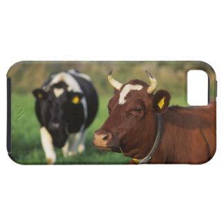 Cow grazing, Sweden. iPhone SE/5/5s Case