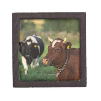 Cow grazing, Sweden. Keepsake Box