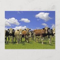 Cow Herd | New Zealand Postcard