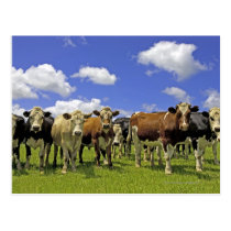 Cow Herd | New Zealand Postcard