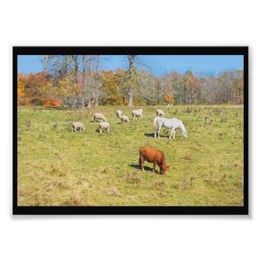 Cow Horse Sheep Grazing On Grass in Farm Field Photo Print
