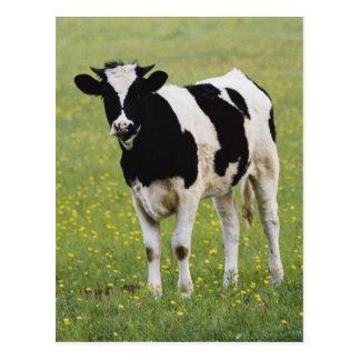 Cow in field of Wildflowers Postcard