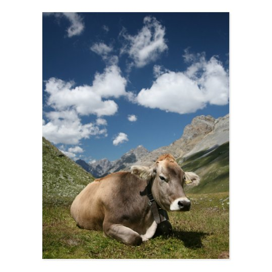 Cow in Pasture Postcard