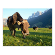 Cow in the Dolomites postcard