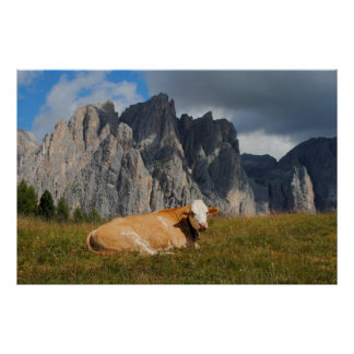cow looking at camera with Dolomites background Posters