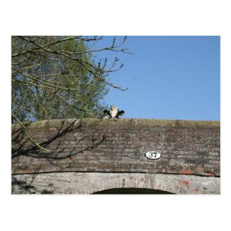 Cow Looking over Bridge Llangollen Canal Postcard