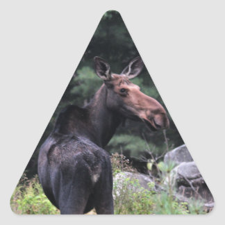 Cow Moose at Baxter State Park Triangle Sticker