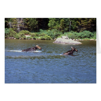 Cow Moose Chasing away Young Bull Moose Card