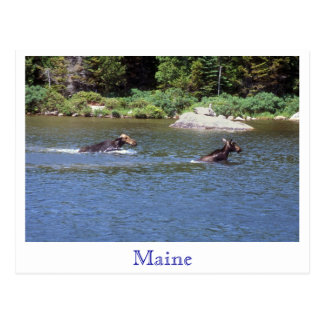 Cow Moose Chasing away Young Bull Moose, Maine Postcard