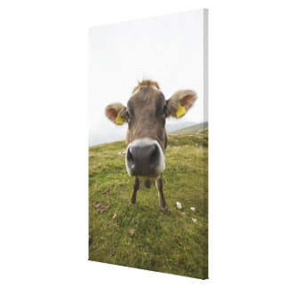 Cow near Tre Cime Di Lavaredo in Misurina, Canvas Print