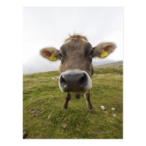Cow near Tre Cime Di Lavaredo | Funniest Cutest Cow Photo Postcard