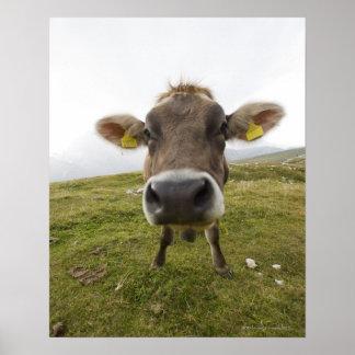 Cow near Tre Cime Di Lavaredo in Misurina, Poster