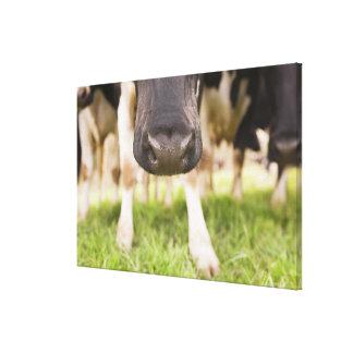 Cow nose canvas print