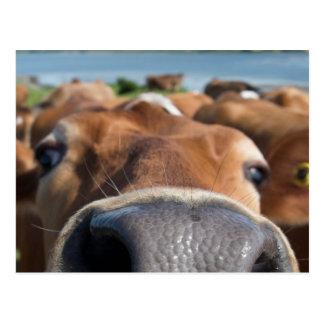 Cow Nose Closeup Postcard