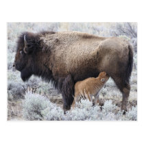 Cow Nursing Bison Calf, Yellowstone 2 Postcard