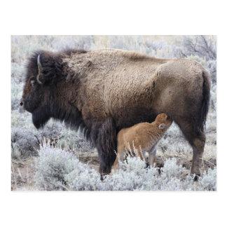 Cow Nursing Bison Calf, Yellowstone 2 Postcard