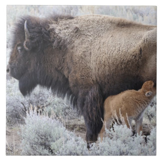 Cow Nursing Bison Calf, Yellowstone 2 Tile