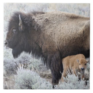Cow Nursing Bison Calf, Yellowstone 3 Ceramic Tile