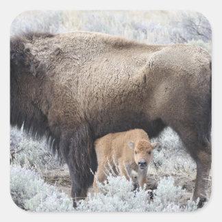 Cow Nursing Bison Calf, Yellowstone 3 Square Sticker
