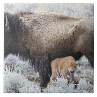 Cow Nursing Bison Calf, Yellowstone 3 Tile