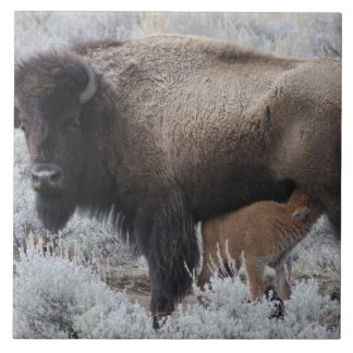Cow Nursing Bison Calf, Yellowstone Ceramic Tile