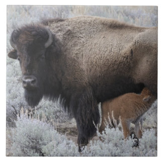Cow Nursing Bison Calf, Yellowstone Tile