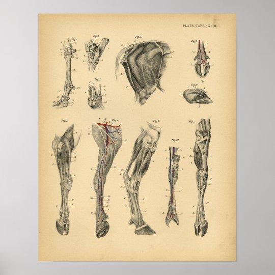 Cow Ox Foot Leg Anatomy 1908 Vintage Print Zazzle