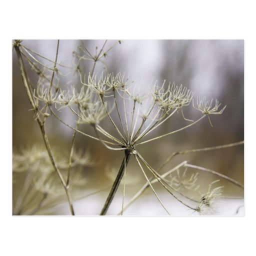 Cow parsley postcard