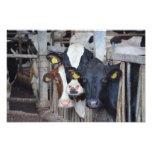 Cow Photo Print