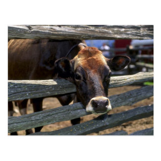 Cow Post Cards
