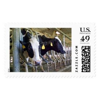 Cow Postage Moo More