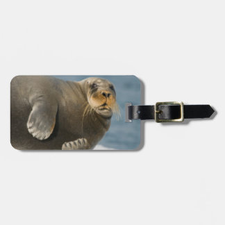 Cow rests on sea ice floating along the coast bag tag