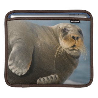 Cow rests on sea ice floating along the coast iPad sleeve