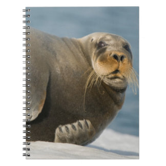 Cow rests on sea ice floating along the coast spiral notebook