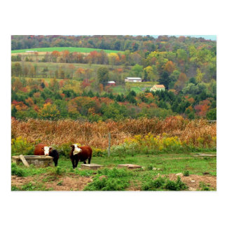Cow Scene Postcard