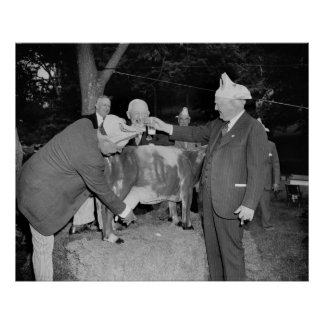 Cow Sipping, 1938 Print