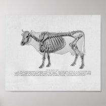 Cow Skeletal Anatomy Vintage Print