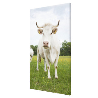 Cow standing in grassy field canvas print