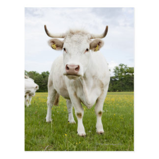 Cow standing in grassy field postcard