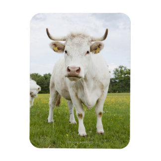Cow standing in grassy field flexible magnets