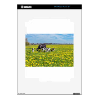 Cow with calves grazing in meadow with dandelions skins for iPad 2