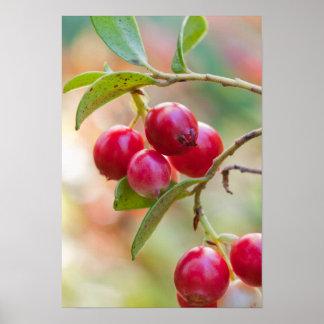 Cowberrys del bosque en un penacho póster