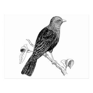 Cowbird Bird Illustrstion Post Card