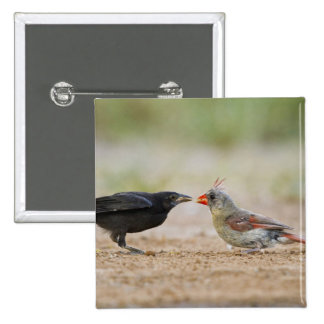 Cowbird de alimentación cardinal septentrional del pin cuadrado