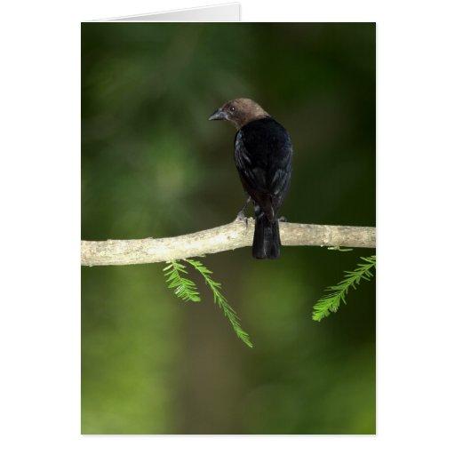 Cowbird que mira a escondidas la tarjeta