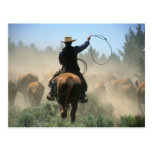Cowboy on horse with lasso driving cattle post card