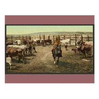 Cowboys and Cows Postcard